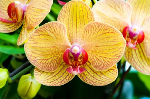 Orchidée en fleurs